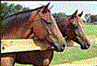 Beauty's Haven Farm and Equine Rescue, Inc.(Morriston, Florida)logo with photo of two horses